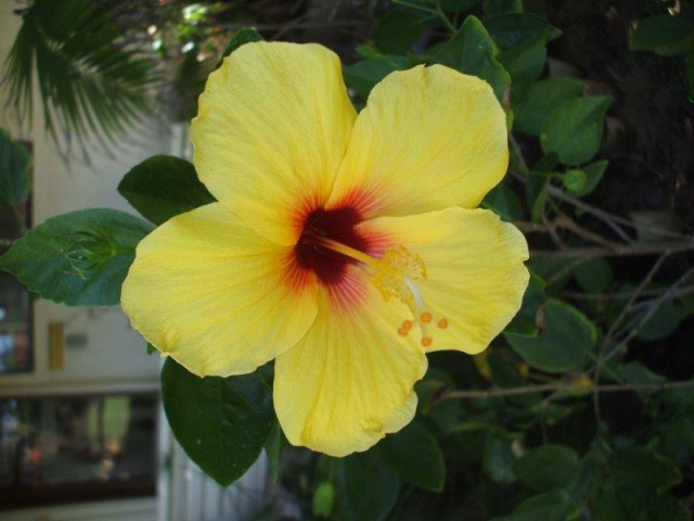 Garden Hibiscus